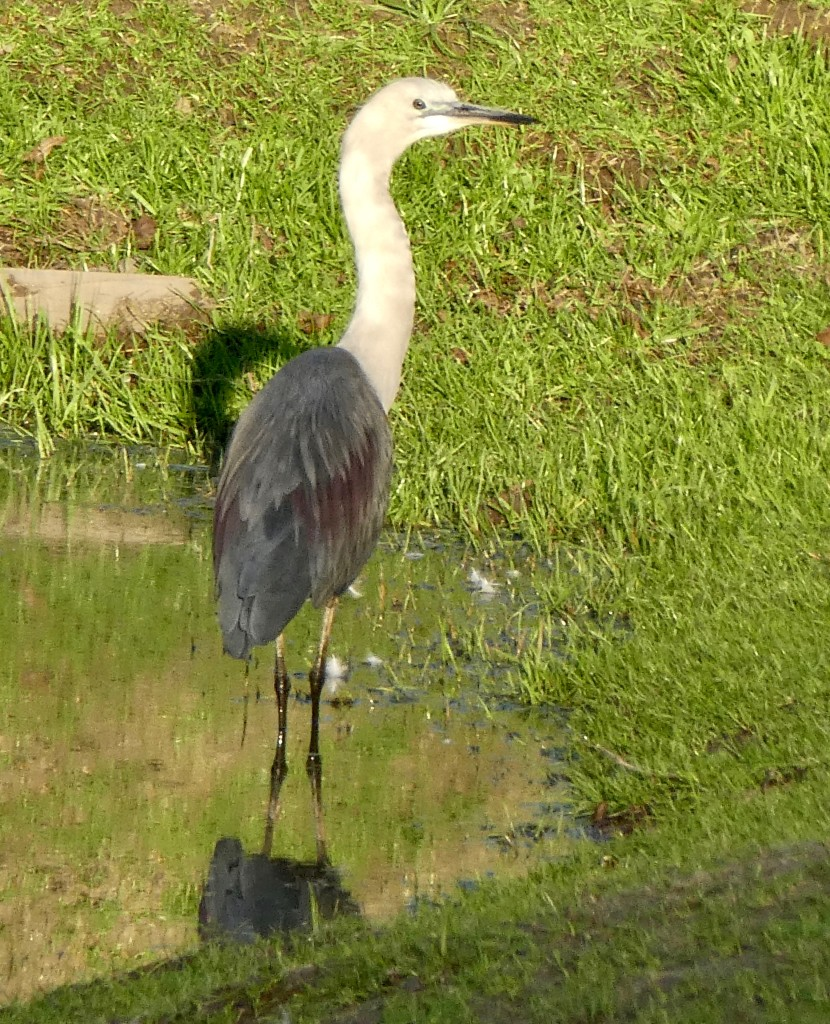 White-necked heron good